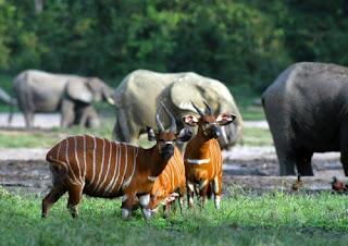 Okapi du Congo