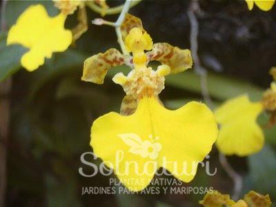 Oncidium bifolium  Flor de patito