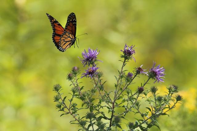 A butterfly landing on a flower