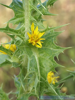 Scolyme d'Espagne - Chardon d'Espagne - Scolymus hispanicus