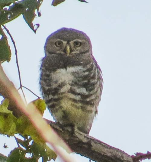 Indian birds - Image of Forest owlet - Heteroglaux blewitti