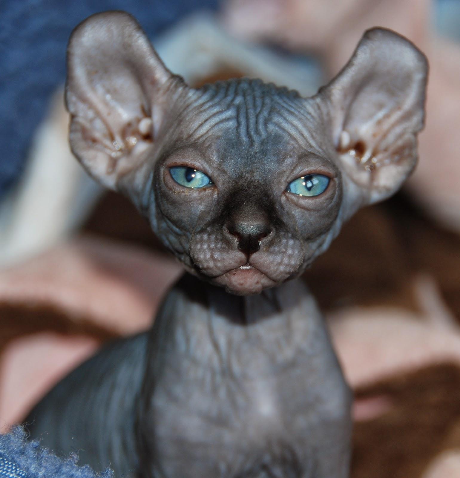 No Coat Kitty ELF CATS: Elf Cats
