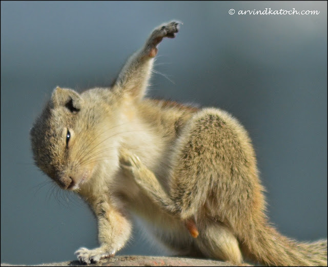 Indian Squirrel, relaxed, mood,
