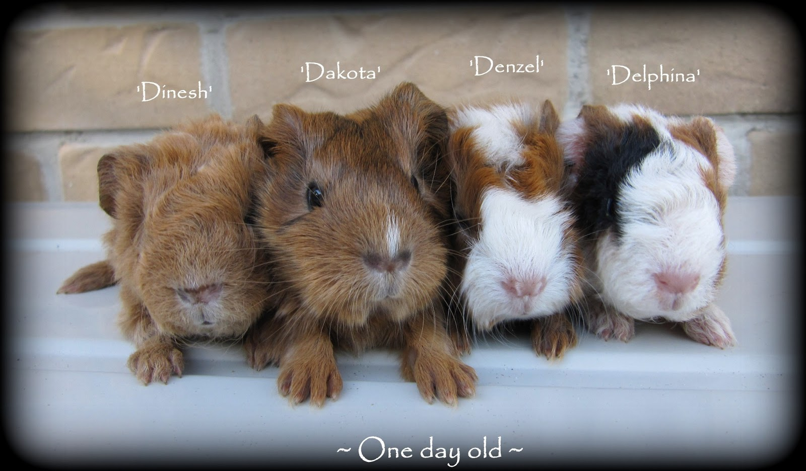 Male Guinea Pigs Vs Female