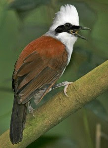 Jenis Burung Berkicau Burung Poksai Jambul Putih
