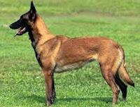 Ciri umum anjing Belgian Malinois