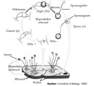 Pengertian jamur Zygomycota, Contoh jamur Zygomycota, Ciri Ciri jamur Zygomycota. Gambar jamur Zygomycota dan Fungsi jamur Zygomycota.