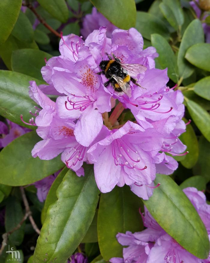 liila alppiruusu - lilac rhododendron