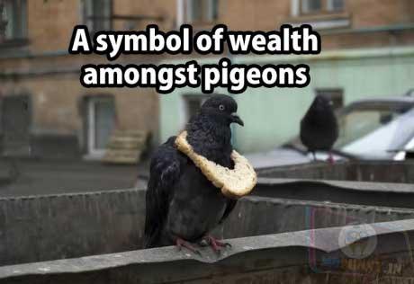 King of pigeons