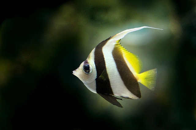 How to Breed Angelfish - RictasBlog