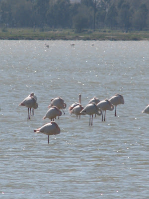 Flamingos Tigaki Salt Pan
