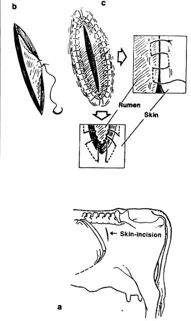 Teknik Operasi Gastrotomy & Rumenotomy pada Hewan (Bedah Digesti)