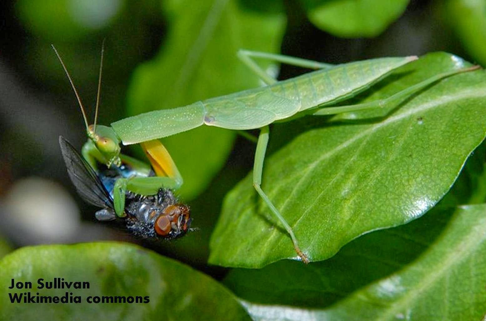 an introduction to the mantodea also known as the praying mantis Abstract the orchid mantis, hymenopus coronatus (insecta: mantodea), is renown for its visual resemblance to a flower blossom it has been hypothesised that the 'flowerlike' orchid mantis is.