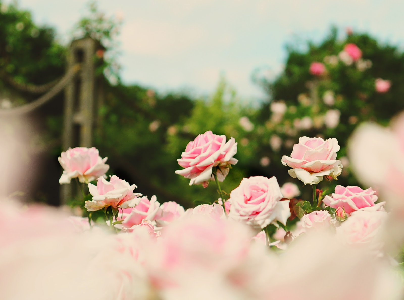 Love Garden Roses: The Rose Garden { Queen Mary's Rose Garden
