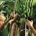 Plátano de Canarias y su cultivo
