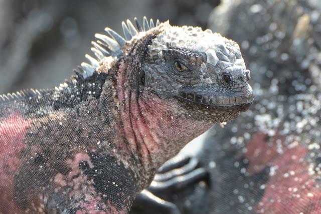 Gardner Bay Galapagos iguana face