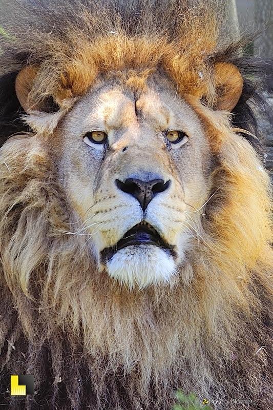 parc zoologique de saint martin la plaine lion photo au delà du cliché Pascal Blachier