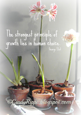 Amaryllis plants in pots, stages of growth, human choice quote, plants on my desk, amaryllis flowers, Florals-Family-Faith, Cindy Rippe