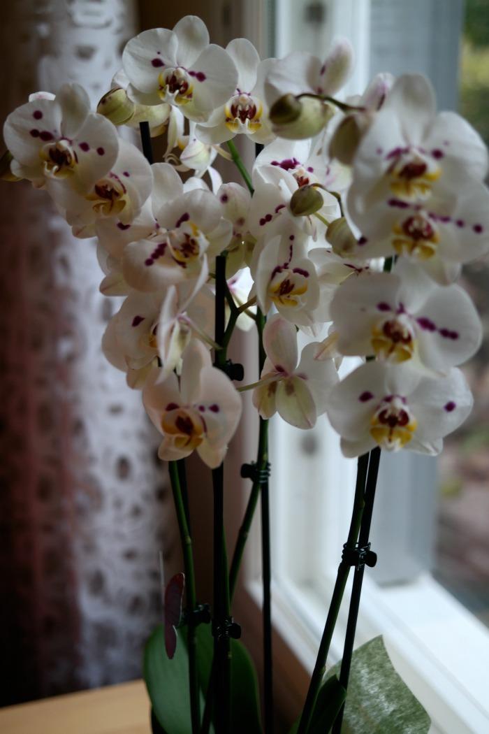 5-vanainen orkidea