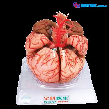 harga Model Otak dan arteri