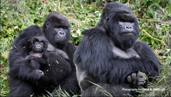 Seperti Manusia, Gorilla Jantan Juga Merawat Anak