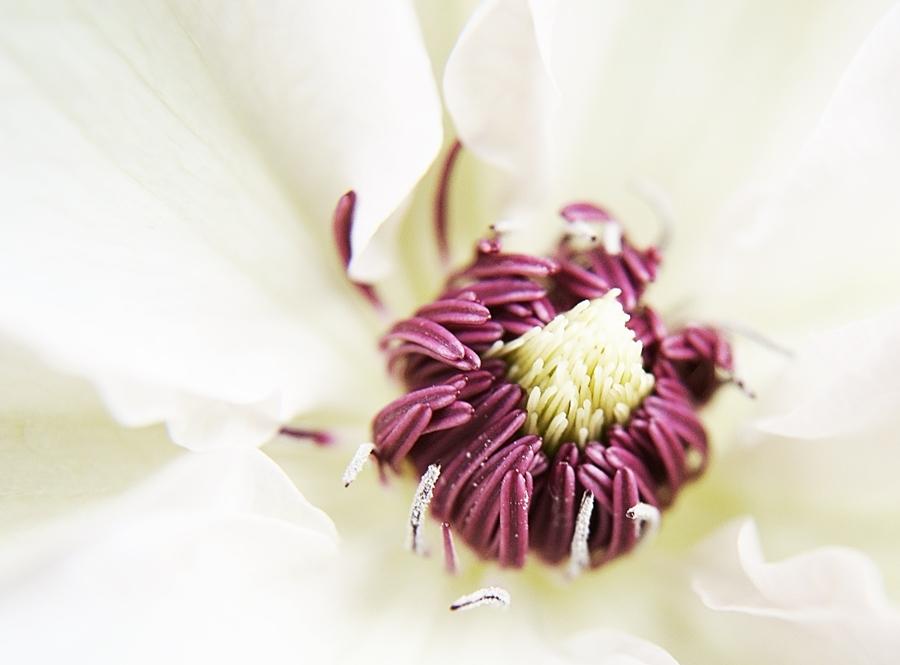 Blog + Fotografie by it's me! - Waldrebe Clematis - Makro des Blüteninneren