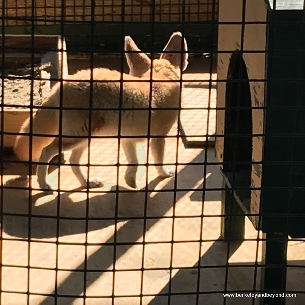 fennec fox in zoo at Sawgrass Recreation Park in Weston, Florida