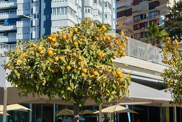 drzewka pomarańczowe Malaga, Costa del Sol