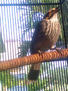 Burung Cucak Rowo - Ciri-Ciri Cara Membedakan Burung Cucak Rowo Jantan dan Betina Melihat Dari Kicauannya - Penangkaran Burung Cucak Rowo