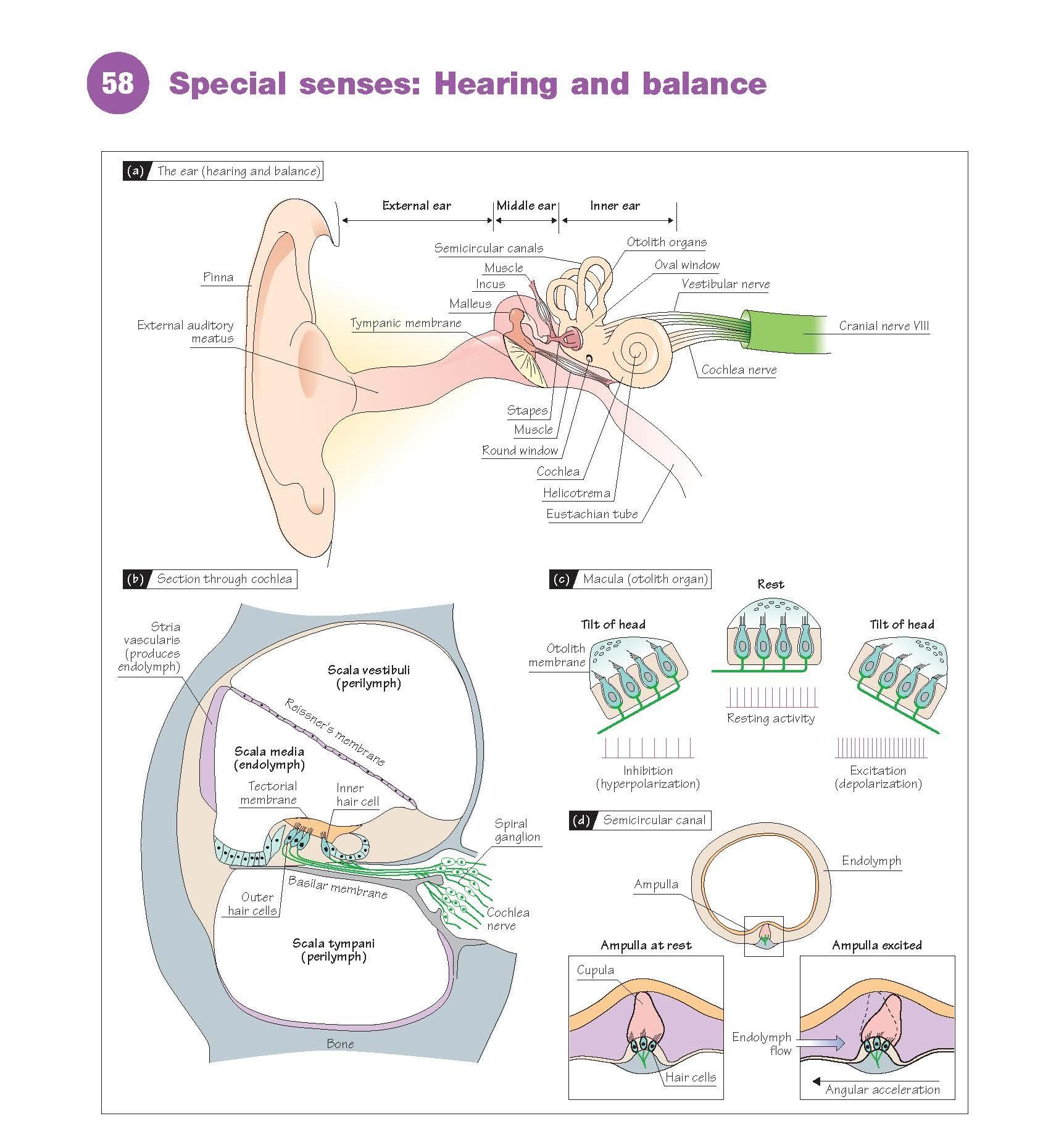 Special Senses: Hearing And Balance