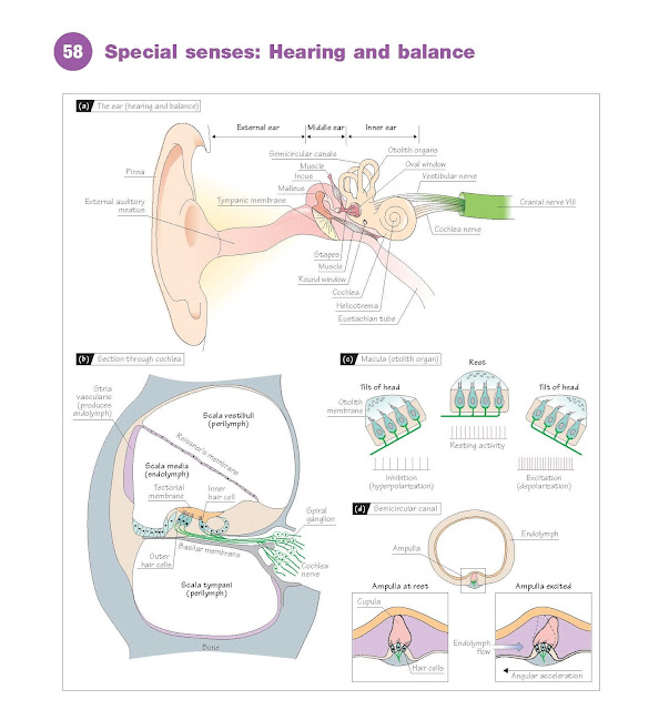 Special Senses: Hearing And Balance