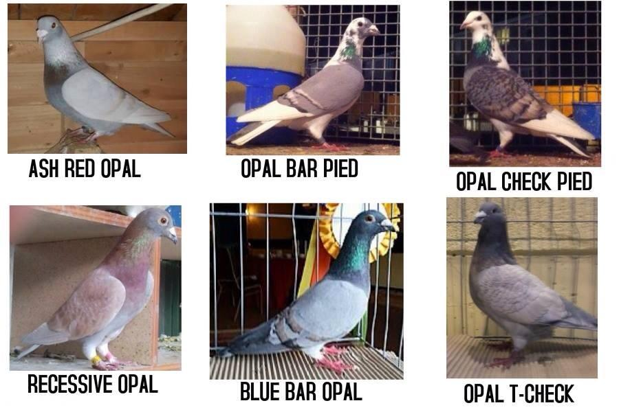 Pigeon Racing in Philippines- The Next Big Thing: Off Color Pigeon
