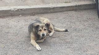 Dog, Wild Dogs, Yambol,