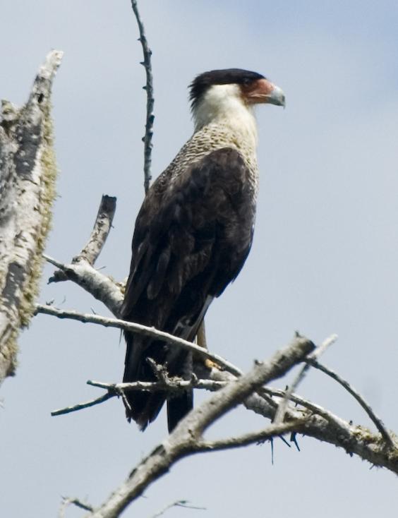 Sw Louisiana Birds Crested Caracara
