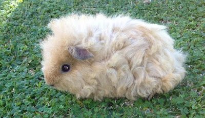 Curly Hair Guinea Pig