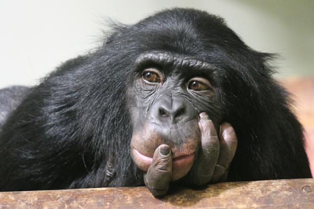 "Chimpanzés aprendem a jogar ""pedra, papel e tesoura"""