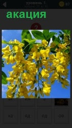 На картинке изображена широко известная по всему миру акация.Вечнозеленое дерево, имеет желтый окрас. Является ответом на 1 уровне игры 1000 головоломок.