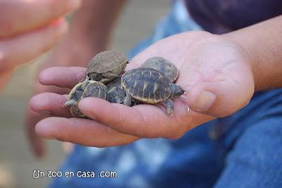 Crías de tortuga mediterránea nacidas en el centro