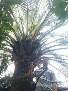 kurma berbuah di indonesia