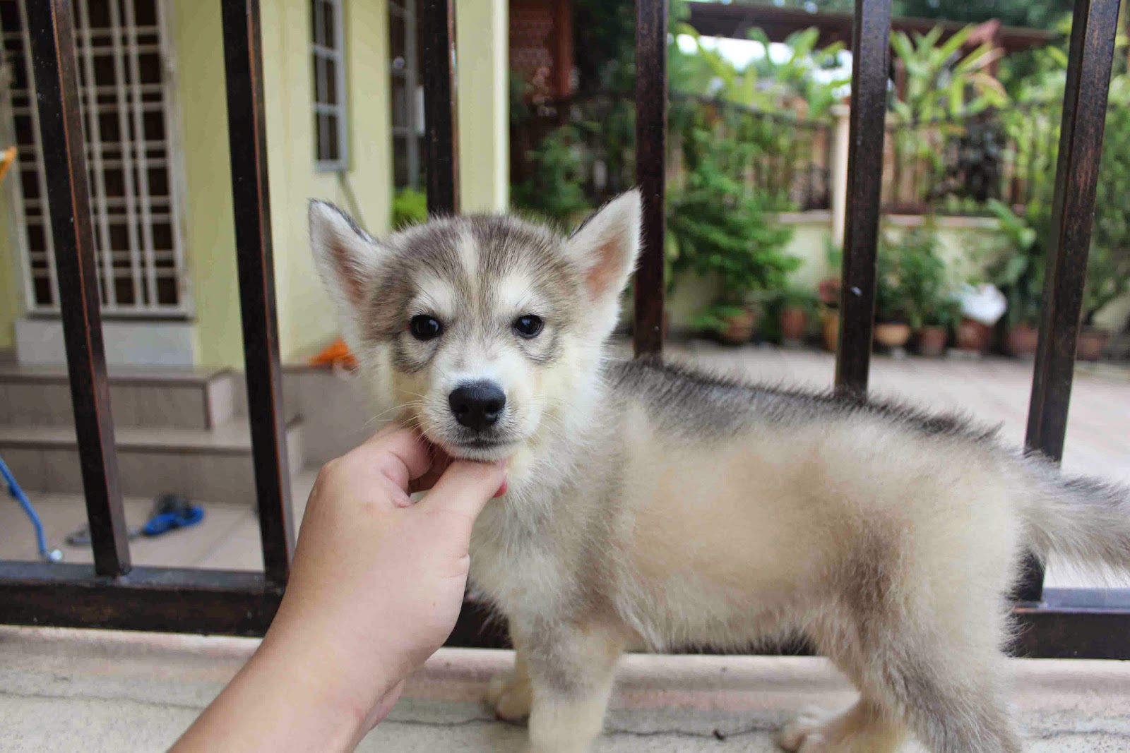 Royal Canin Puppy Food >> LovelyPuppy: Dark Red Copper Siberian Husky Puppy