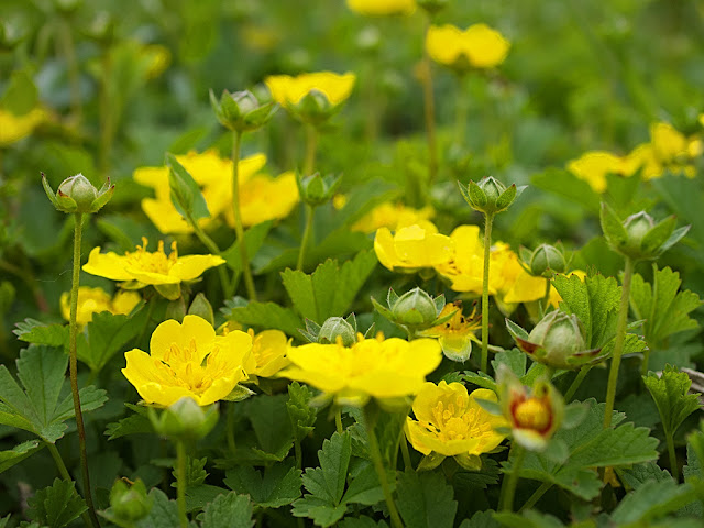 Low angle close up of clump of cinquefoil