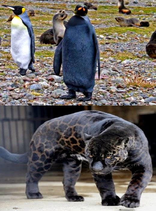 Animais com melanismo - Onça e pinguim