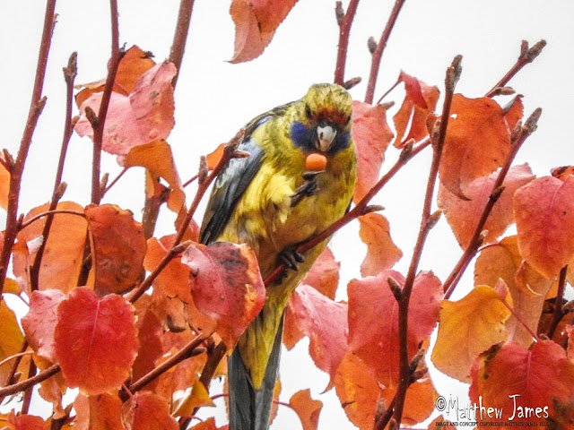 YELLOW ROSELLA - LEETON NSW
