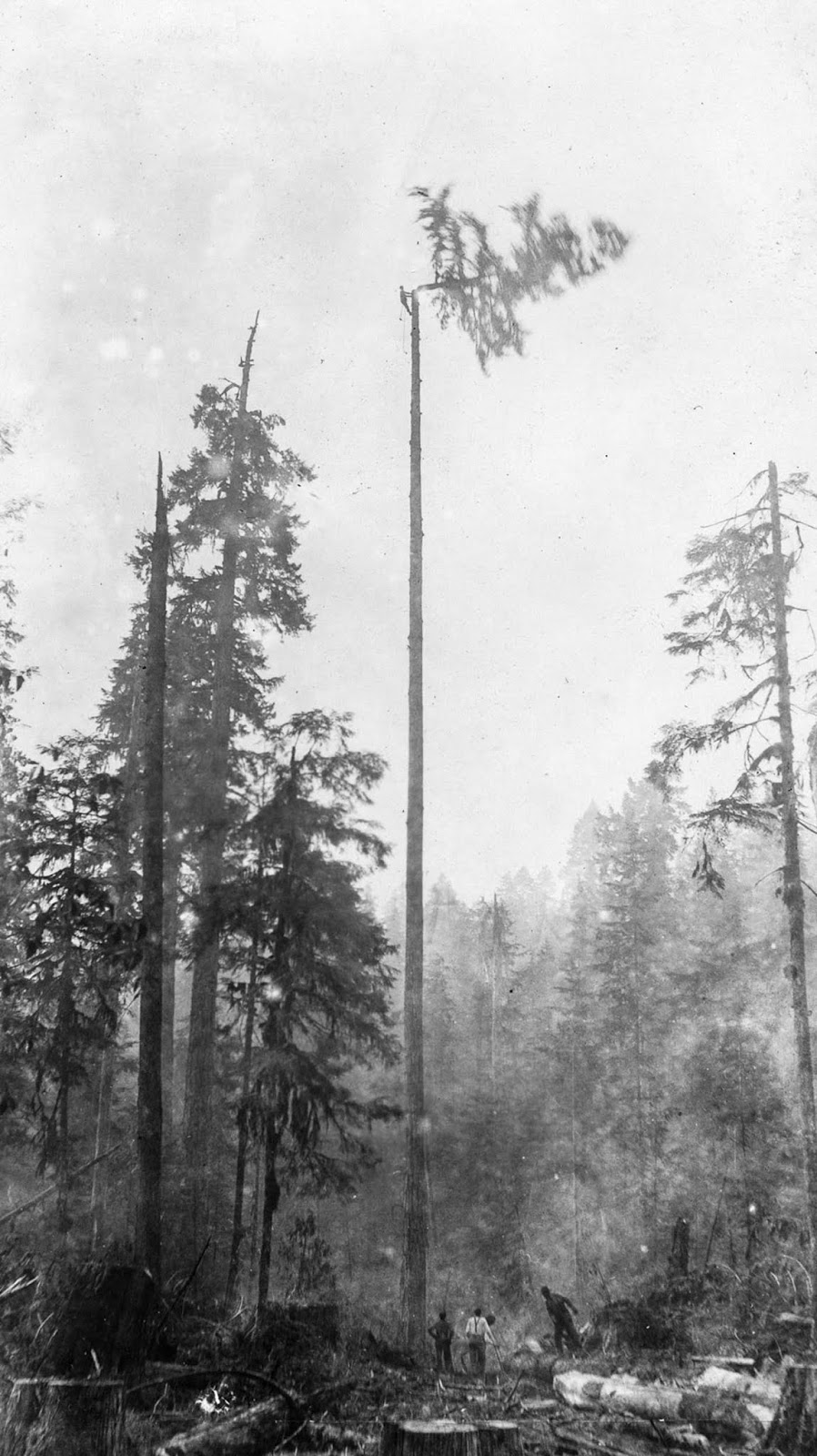 A high rigger cuts the top off a tree as his colleagues watch from below. c. 1920.