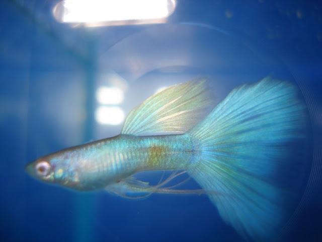 Dunia Ikan Hias - GUPPY BLUE MOSCOW