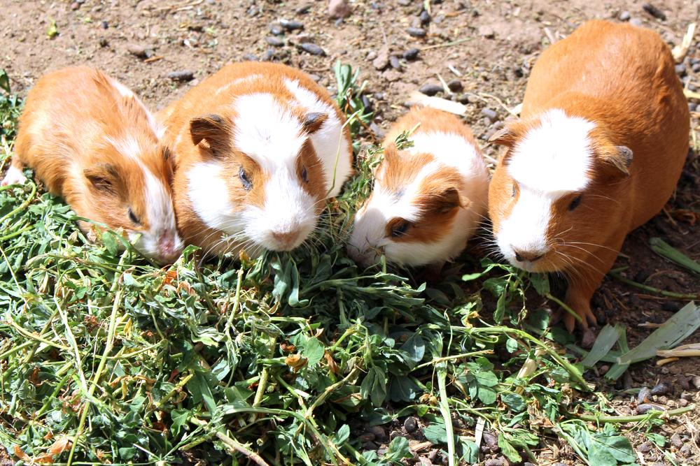 Wild guinea pigs in Puno, Peru - travel blog