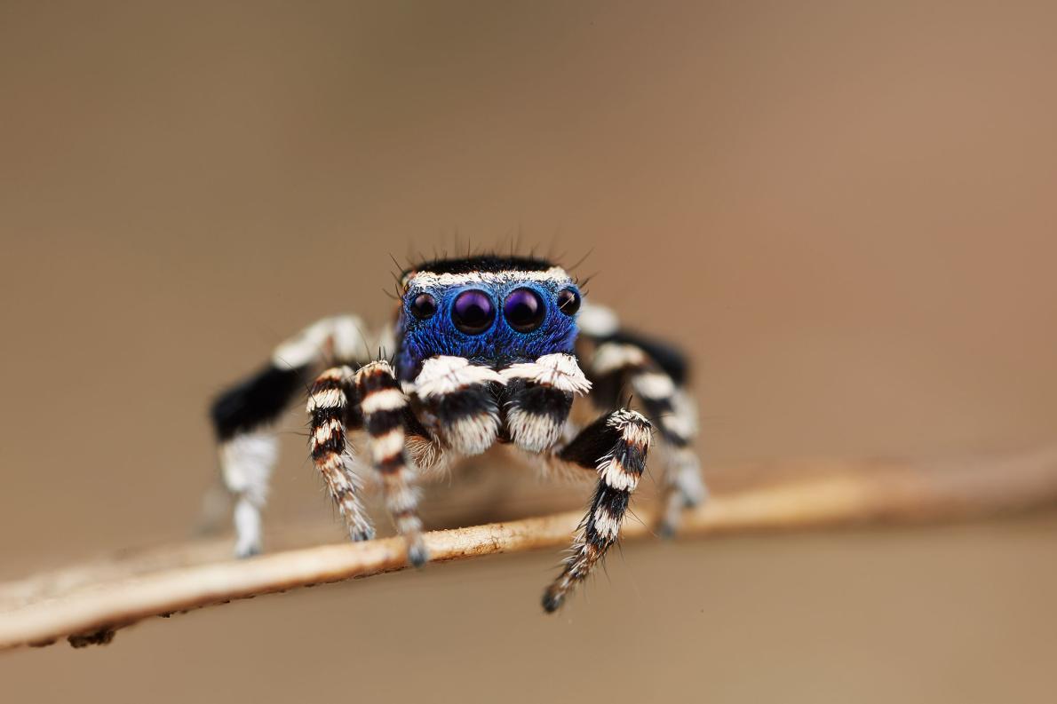 Descubre TU MUNDO: Arañas bailarinas: nueva especie de araña pavo ...