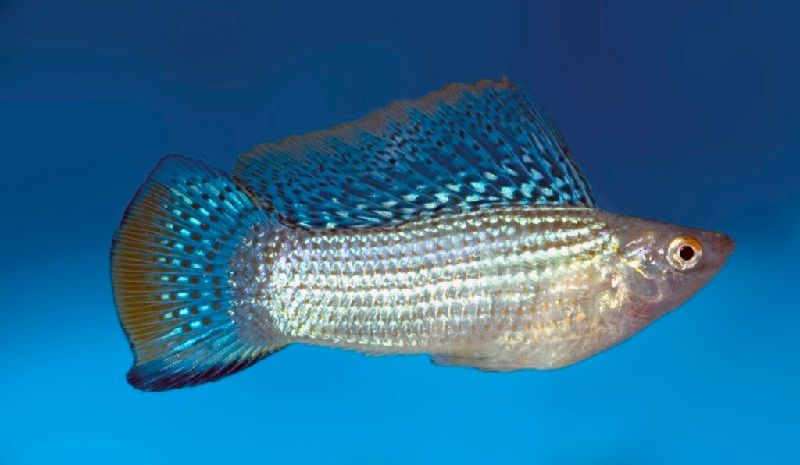 11. Jenis Ikan Hias Aquascape Sailfin Molly
