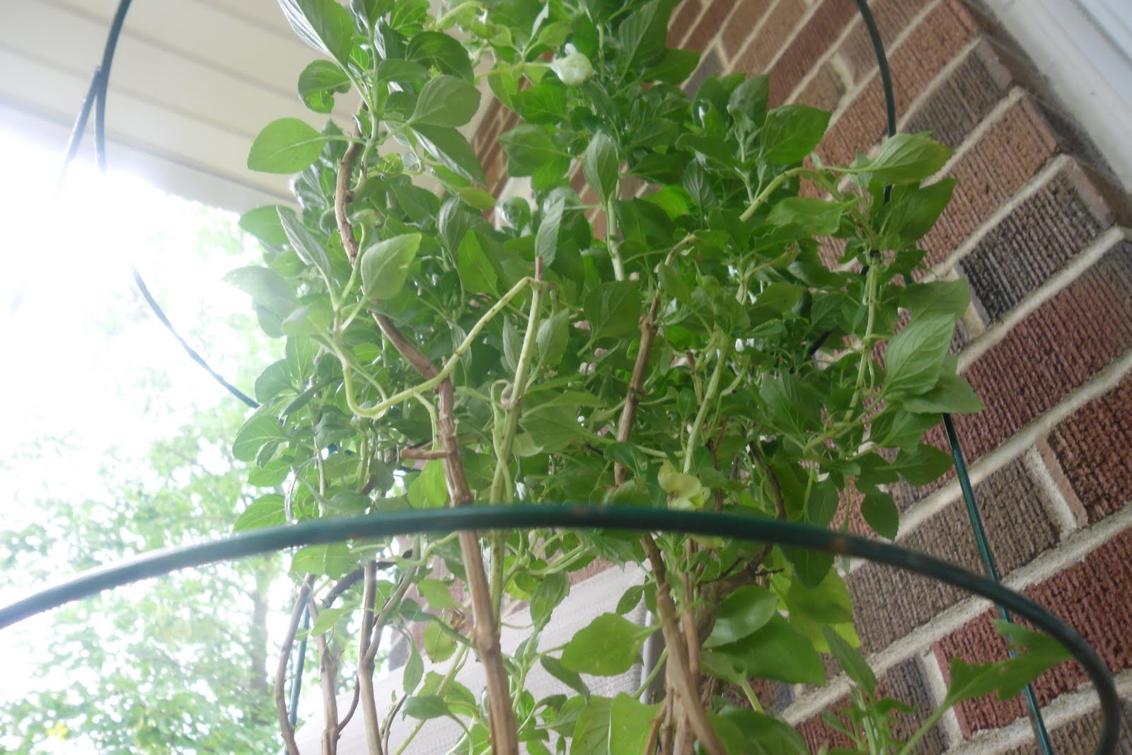 Cooking With Pattitude My Basil Tree