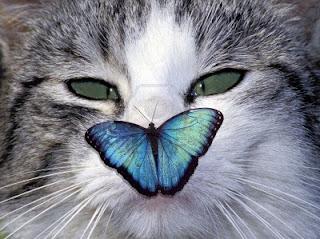 gatto-con-farfalla-su- naso